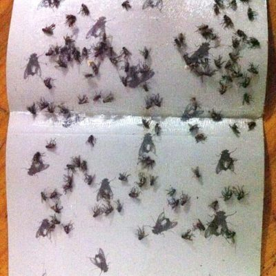 Sticky Traps For Bed Bugs, Roaches, Flies, And Other Insects, 10 traps